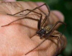 4 formas de tratar una picadura de araña violinista