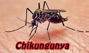 Zancudo del chikungunya