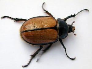 los escarabajos, son las especies de mayor distribución
