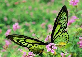 Es una de las más grandes mariposas en el mundo. La mariposa Alas de Pájaro