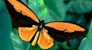 Mariposa alas de pájaro dorada