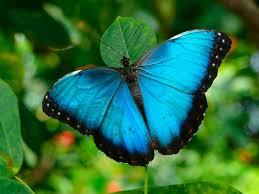 Esta especie de mariposa azul común, está distribuida mayormente en Gran Bretaña