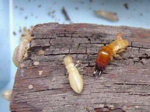 Veneno para termitas de madera, como exterminarlas