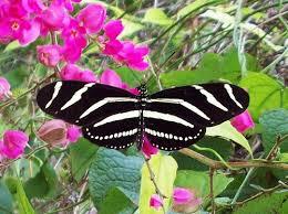 Mariposa cebra una maravillosa especie
