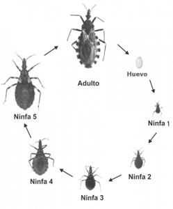 Características de las chinches ciclo de vida