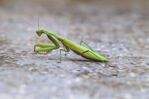 Cómo se aparean las mantis religiosas