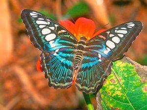 Nombres de mariposas comunes