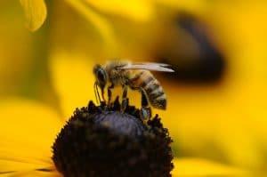 Las alergias a las picaduras de abejas;