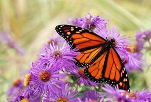 La mariposa monarca, se caracteriza por sus hermosos colores naranja y negro