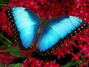 La Morpho Azul es una de las especies mayormente esparcidas por todo el mundo