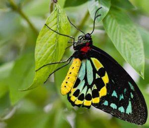 Mariposa Ornithoptera richmondia