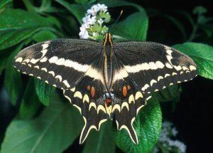 Mariposa Papilio aristodemus
