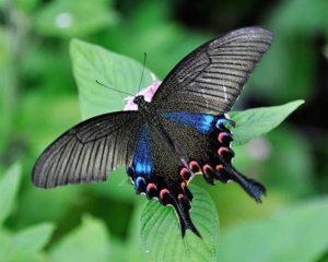 Mariposa Papilio chikae