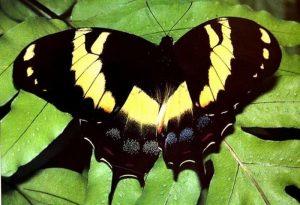 Los papiliónidos son las especies más comunes que habitan en el continente Americano.