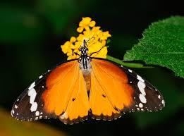Es una belleza de mariposa, la cual posee diferentes marcas parecidas a unas rayas negras y amarillas