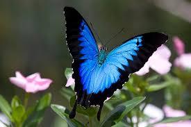 La mariposa Ulises es igualmente conocida como mariposa azul de montaña