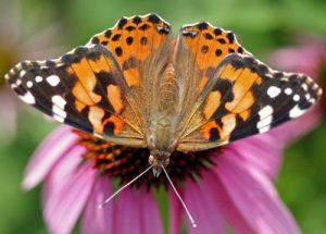 como la mariposa cardo o cosmopolita debido a que su hábitat