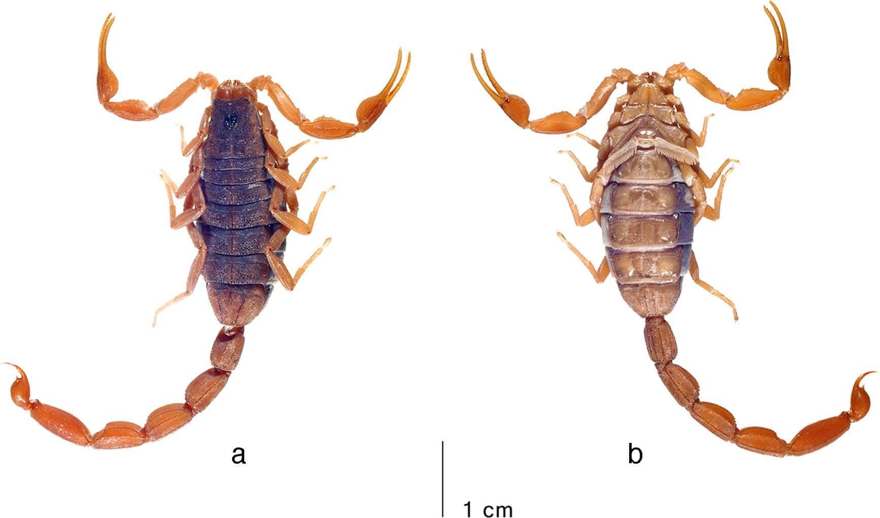 Alacranes Mas Venenosos De Mexico Descubre Estas 5 Especies