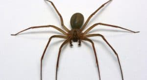 alergia por picadura de araña