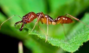 alergia por picadura de hormiga