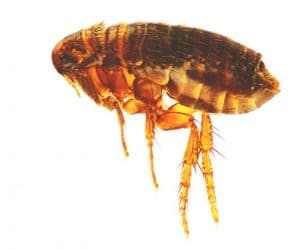 alergia por picadura de pulgas