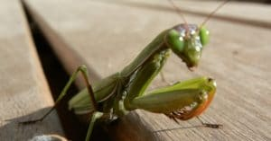 alimentacion-de-la-mantis-religiosa-1