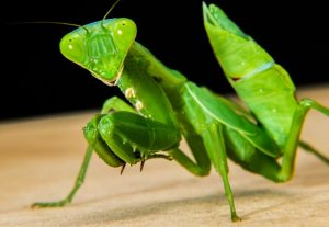 alimentacion-de-la-mantis-religiosa-2