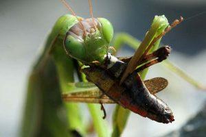 alimentacion-de-la-mantis-religiosa-3