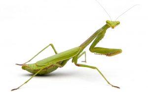 alimentacion-de-la-mantis-religiosa-4