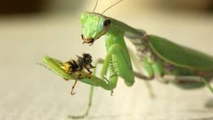alimentacion-de-la-mantis-religiosa-5