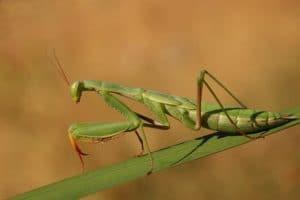 alimentacion-de-la-mantis-religiosa-6