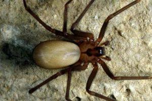 antidoto para el veneno de la araña violinista