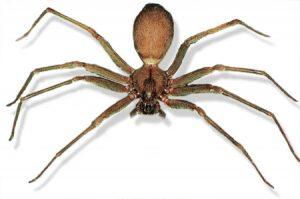 antidoto para el veneno de la araña violinista-7