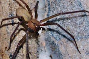 antidoto para el veneno de la araña violinista-4