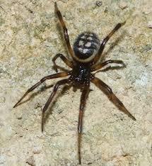 arañas caseras peligrosas al extremo