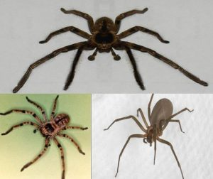arañas caseras venenosas 1