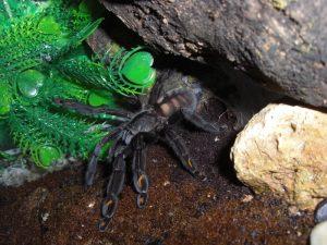 arañas caseras venenosas 2