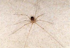 arañas no venenosas 2