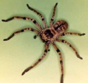 arañas no venenosas 4
