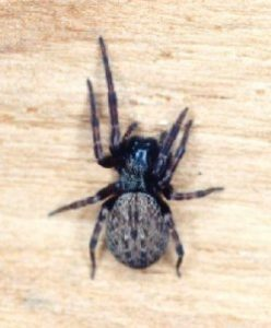 arañas no venenosas 7