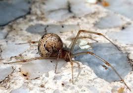 arañas venenosas y no venenosas