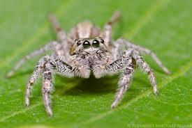 arañas venenosas y no venenosas la saltadora