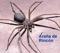 araña de rincon argentina reconócela