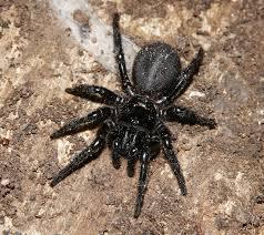 arañas caseras peligrosas diversas