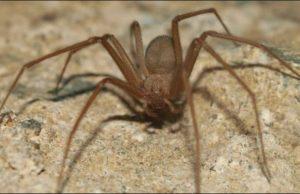 arañas caseras venenosas 3