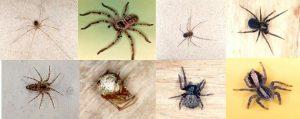 arañas no venenosas 1