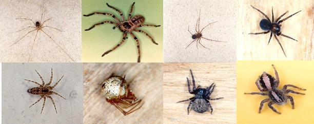 Ara as no venenosas que habitan en tu casa descubre - Insectos en casa fotos ...
