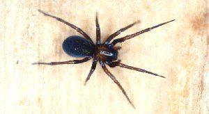 arañas no venenosas 8