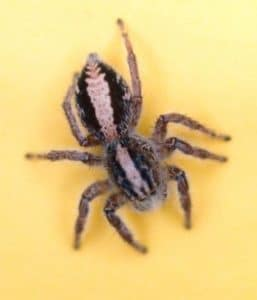 arañas no venenosas 9