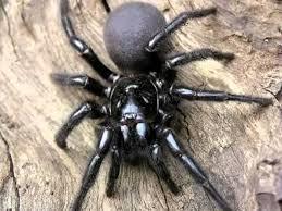 arañas venenosas y no venenosas la robustus